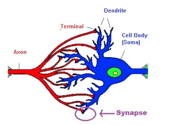 neurones biologique